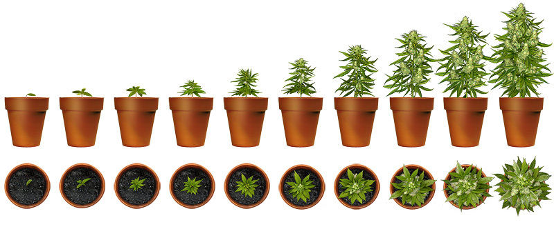 cannabis maturation illustration